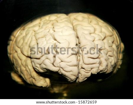 preserved real human brain