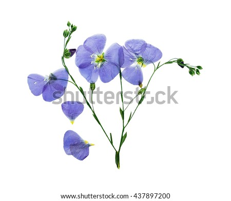 Pressed and dried delicate blue flower flax. Isolated on white background. For use in scrapbooking, floristry (oshibana) or herbarium. - stock photo