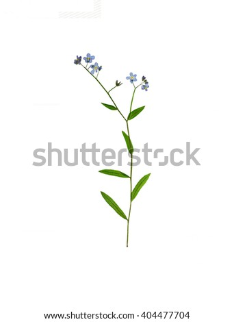 Pressed and dried delicate blue flowers forget-me-not . Isolated on white background. - stock photo