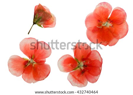Pressed and dried delicate pink flowers of geranium (pelargonium). Isolated on white background. - stock photo