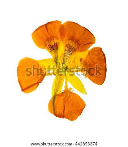 Pressed and dried delicate yellow colored flowers nasturtium (tropaeolum). Isolated on white background. For use in scrapbooking, floristry (oshibana) or herbarium.