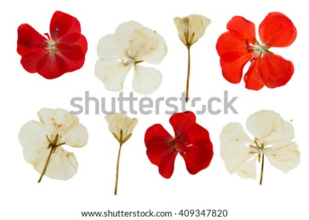 Pressed and dried flowers of Geranium (Pelargonium). Isolated on white background. - stock photo