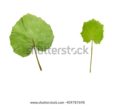 Pressed and dried leaf coltsfoot (foalfoot, tussilago farfara) isolated on white background. - stock photo