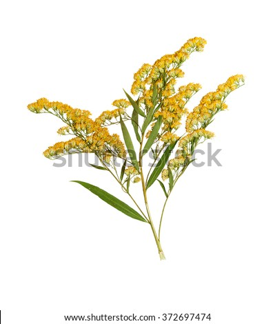 Pressed and dried stem goldenrod  with green leaves. Isolated on white background.