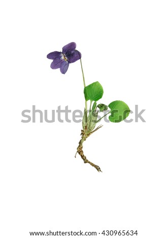 Pressed and dried violets bush forest with delicate blue flower. Isolated on white background. - stock photo