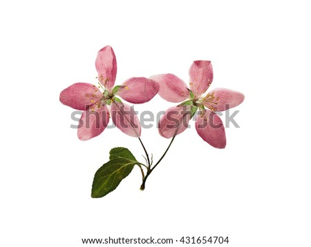 Pressed and dry bright pink flowers  of apple on branch with leaves. Isolated on white background. - stock photo