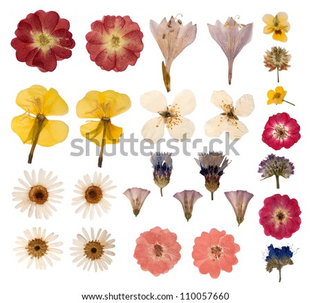 Pressed flowers isolated on white background - stock photo