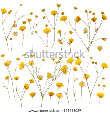 Pressed yellow wildflowers isolated on white stok fotoraf pressed yellow wildflowers isolated on white background mightylinksfo