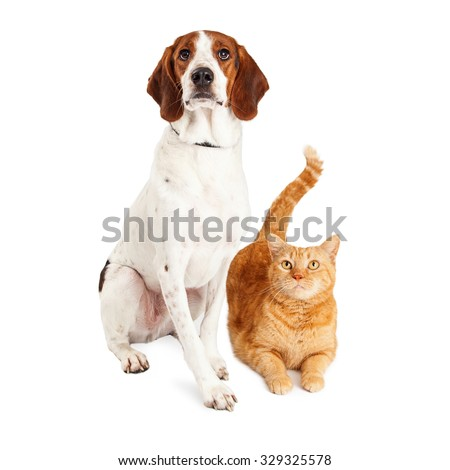 Pretty adult Basset Hound and Beagle mixed breed dog sitting next to a pretty orange tabby cat - stock photo
