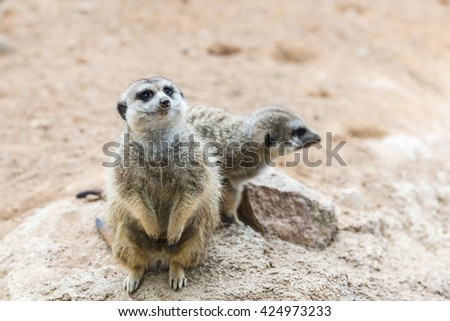 Pretty alert South African meerkat  standing on guard (Suricate)