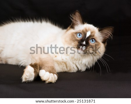 Pretty and cute Ragdoll kitten on black background fabric