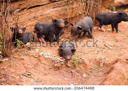 pretty baby pig - stock photo