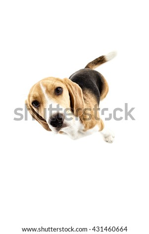 Pretty beagle dog is evincing his curiosity