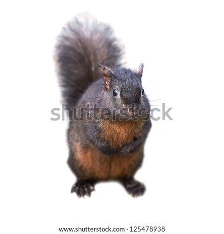 Pretty black squirrel isolated on white background - stock photo