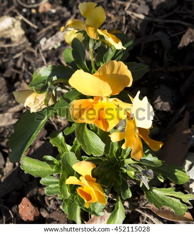 Pretty bright yellow flowers of pansy  derived by hybridization from several species in the section Melanium of the genus Viola particularly,  flowering in winter are delightfully cheerful.