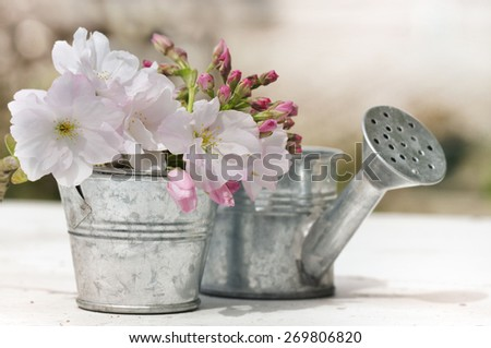 pretty bush of cherry blossom in pot with a little metal watering can  - stock photo