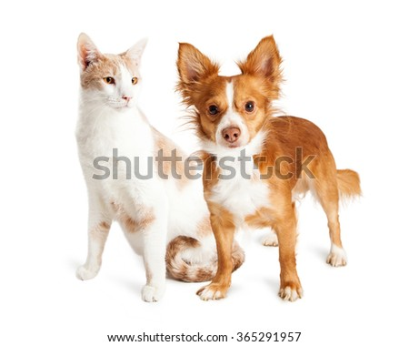 Pretty cat looking at a dog that is standing next to it