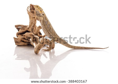 Pretty cool lizard and cute snake python in friendly embraces on a white background photo Super for sale and advertising
