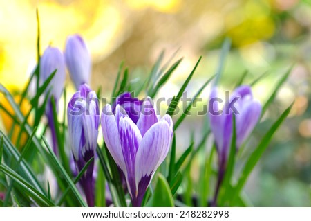 pretty crocus on colorful background  - stock photo