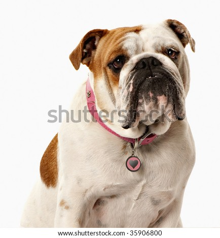Pretty female bulldog in pink collar on white screen