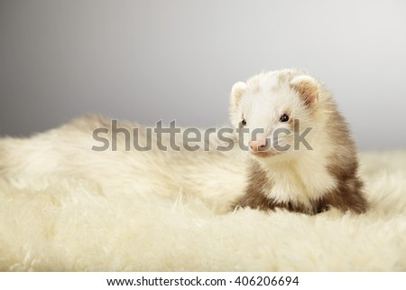 Pretty ferret on fur in studio - stock photo