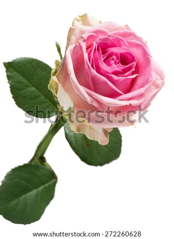 Pretty fresh pink rose with green leaves for a romantic occasion, Valentines day or anniversary as a gift for a loved one , isolated on white
