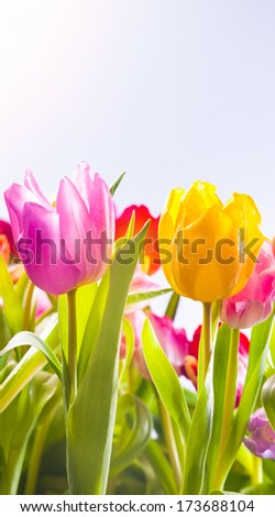 Pretty fresh pink, yellow and red tulips flowering in a field in hot spring sunshine, low angle view of the plants with their leaves - stock photo