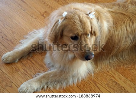 Pretty Girl Dog with Bows. A young female golden retriever with bows in her hair. - stock photo