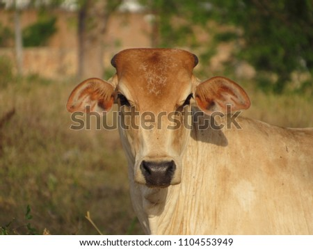 stock-photo-pretty-hornless-cow-in-the-m