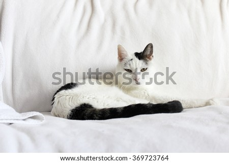 Pretty kitty cat looking at viewer while relaxing laying down on a white blanket near a white towel on a couch. Cute feline with black and white fur relaxed on a couch. - stock photo