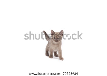 pretty little Burmese breed cat of pale color(straw-coloured). isolated over white background