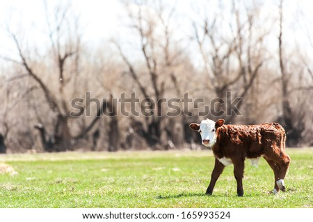 pretty little calf standing alone in green pasture - stock photo