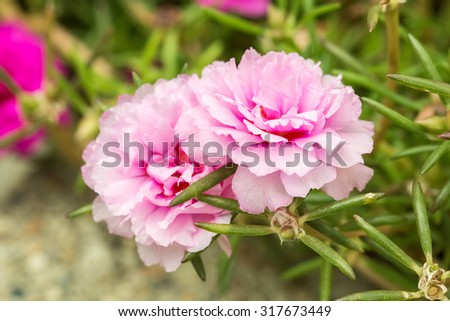 Pretty little flowers that known many stock photo royalty free pretty little flowers that is known in many names as common purslane verdolaga pigweed mightylinksfo