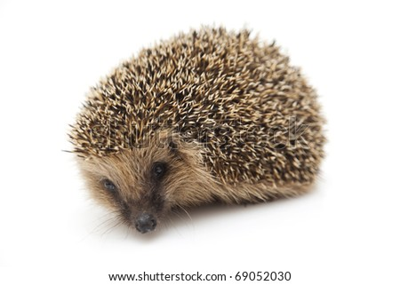 Pretty little hedgehog sitting on a white background