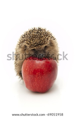 Pretty little hedgehog sitting on a white background and eating fruit. - stock photo