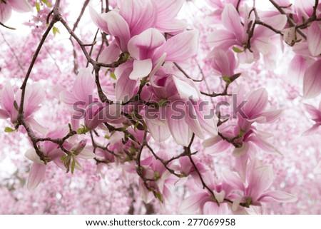 Pretty magnolia blossoms on tree - stock photo