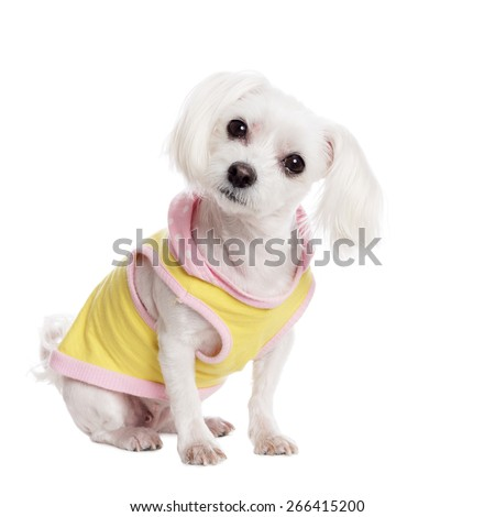 Pretty maltese in front of white Background