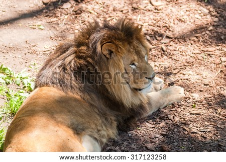 Pretty Mighty Lion relaxes in summer day - stock photo