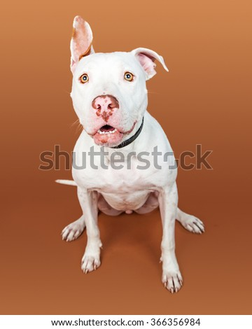 Pretty mixed large breed dog with white coat sitting looking forward with one ear up - stock photo