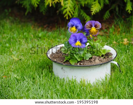 Pretty multicolored pansy flowers in a pot. - stock photo