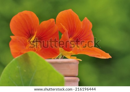 pretty nasturtiums in terracotta pot on green background