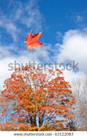 pretty orange maple leaf gets blown through air by gust of wind with maple tree in background