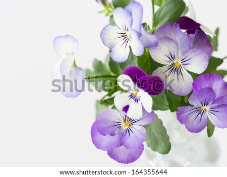Pretty pansy and viola