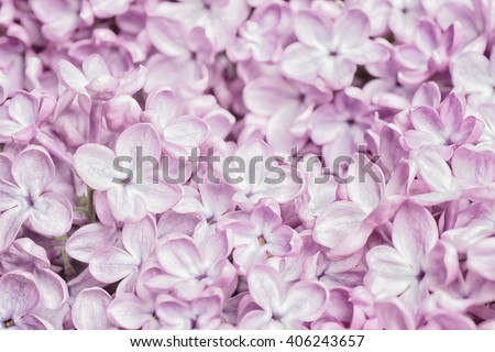Pretty Pastel Light Pink Lilac Flower Bunch Closeup, filling the framework with short focus on some lower blooms. The bokeh blur area is background for copy, text or your words. High key horizontal