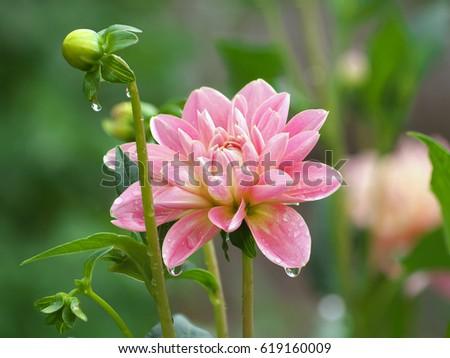 Pretty pink dahlia flower bud dew stock photo royalty free pretty pink dahlia flower and bud with dew drops in morning dahlia after rain mightylinksfo