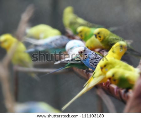 Pretty, playful and colorful lovebirds (agapornis-fischeri) perched on a wooden log and feeding on grains in groups. The photo was taken in mysore zoo located at mysore, karnataka, india. - stock photo