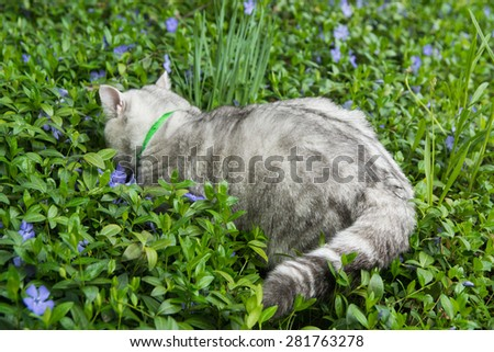 Pretty proud grey scottish stright british cat in green grass and lilac flowers
