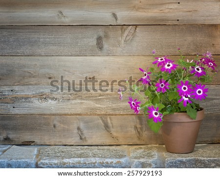 Pretty Purple Pericallis Flowers in a Potting Shed on side on Rustic Stone Floor against Rustic Wood Board Wall Background with empty room or space for text, copy, your words.  Horizontal warm tones.