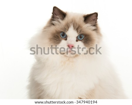 Pretty rag doll cat portrait with blue eyes isolated on a white background