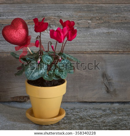 Pretty Red Cyclamen Flowers in Yellow Pot with Valentine Heart Decoration in Rustic Wood Vignette with room or space for copy, text, your words.  Square closeup, side view. - stock photo